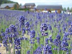 0407_lavendor.jpg