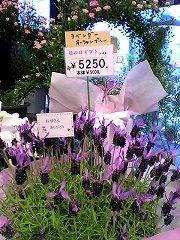 lavender_oblue.jpg