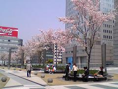 nagoyasakura.jpg