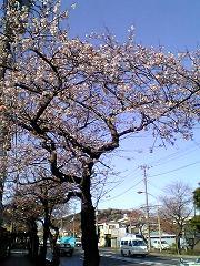 sakura_otsu.jpg