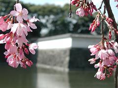 sakurabara.jpg