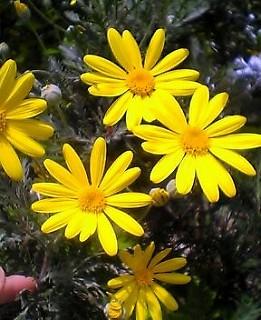 黄色のデイジー